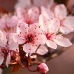 fiori di ciliegio Sakura